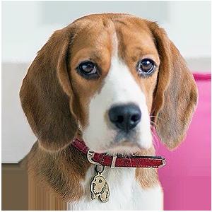 фото адресника на собаке породы Бигль