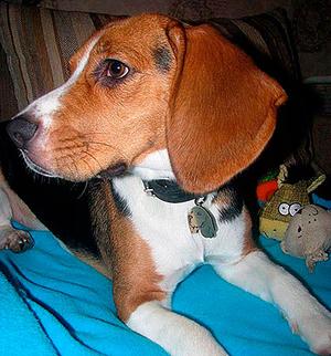 Tag for dog Beagle