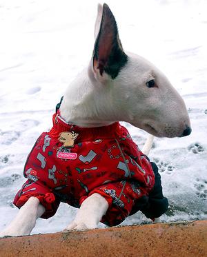 Фото адресника для собаки породы Бультерьер