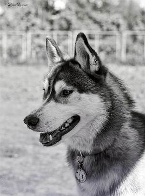 """Адресник для собаки """"Волк и луна"""""""