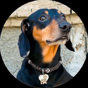 Зачем собаке адресник или история третья