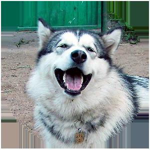 Фото жетона для собаки Аляскинский маламут