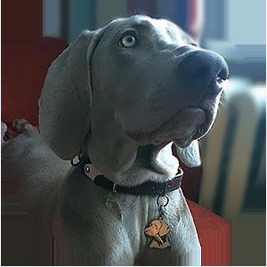 Адресный жетон для собак породы Веймаранер