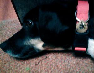 Фото собаки с адресником