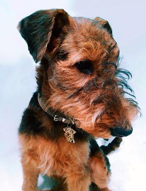 Адресник для собаки породы Эрдельтерьер