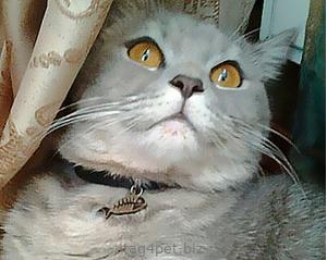 """адресник для кошки """"Рыбка"""""""