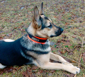 Ошейник для собаки из биотана