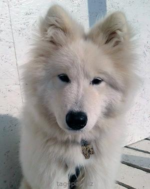 Адресник с изображением собаки породы Самоед