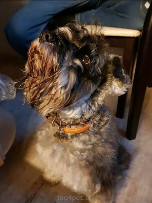 Адресник для собак породы Цвергшнауцер