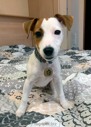Маленький щенок с жетоном для собаки