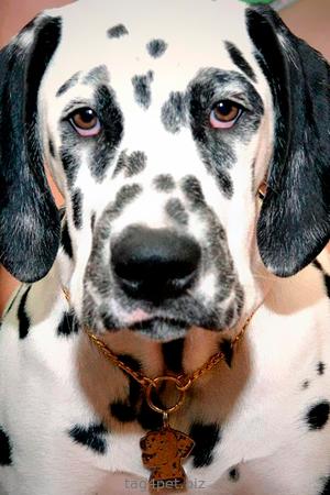 Жетон для собаки Далматин