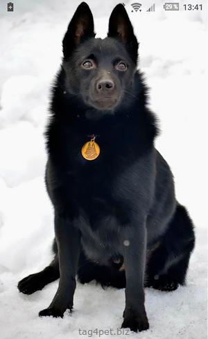 Адресник для собаки породы Шипперке